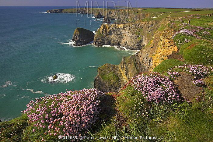 Sea Thrift growing at the top of cliffs, Bedruthan Steps, North Cornwall, UK  -  Peter Lewis/ npl