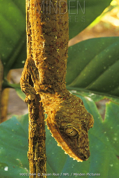 Common Fiat-tail Gecko (Uroplatus fimbriatus) in tropical rainforest, Nosy Mangabe National Park, Madagascar  -  Jouan & Rius/ npl
