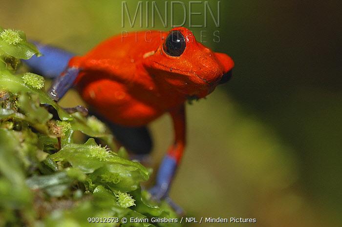 Strawberry Poison Dart Frog (Dendrobates pumilio), Costa Rica  -  Edwin Giesbers/ npl