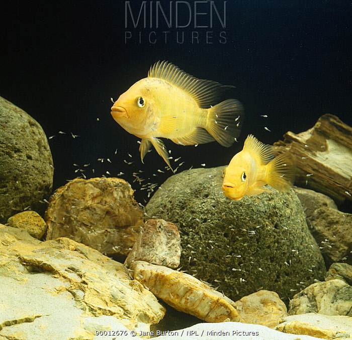 Red devil (Cichlasoma citrinellum) pair guarding young fry, captive, from South America  -  Jane Burton/ npl