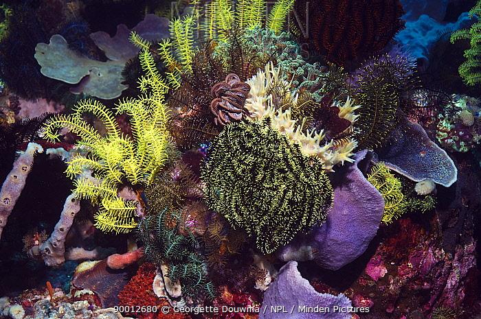 Feather Star (Crinoidea)on coral reef, Rinca, Indonesia  -  Georgette Douwma/ npl