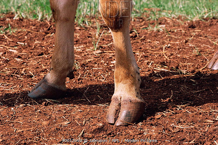 Hind legs of a Jersey cow (Bos taurus) Thoroughbred for breeding purposes UK  -  Jabruson/ npl
