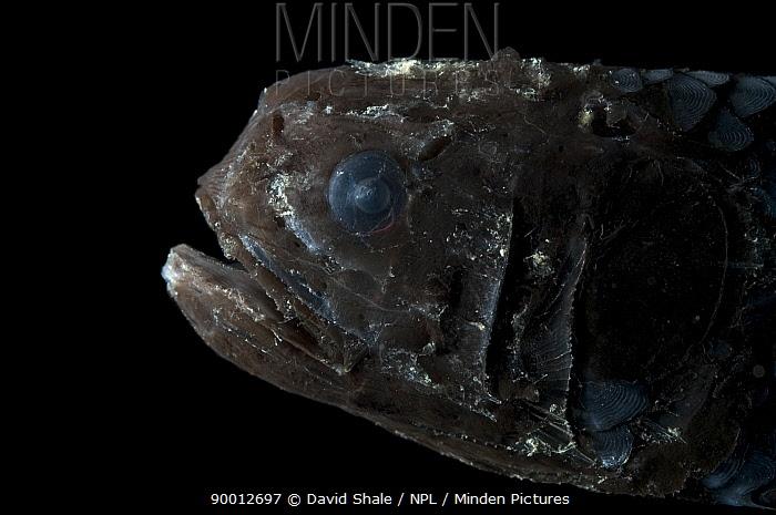 Deepsea fish (Poromethra sp), deep sea Atlantic ocean  -  David Shale/ npl