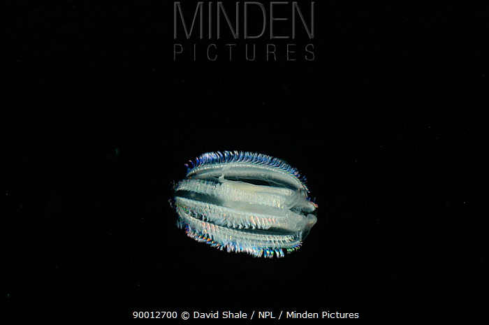 Comb jelly (Euplokamis sp), deep sea Atlantic ocean  -  David Shale/ npl