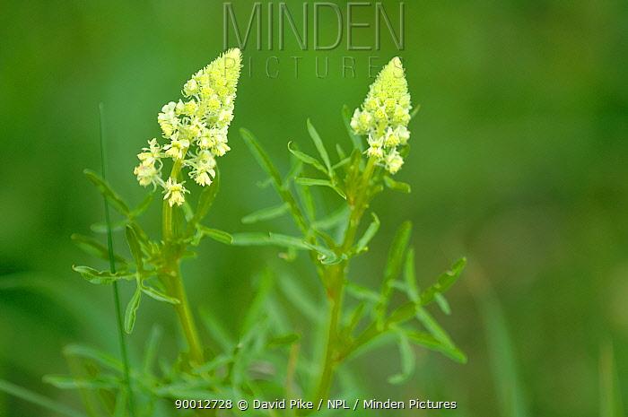 Wild Mignonette, Weld (Reseda luteola) Barnack Hills and Holes, Cambridgeshire, UK  -  David Pike/ npl