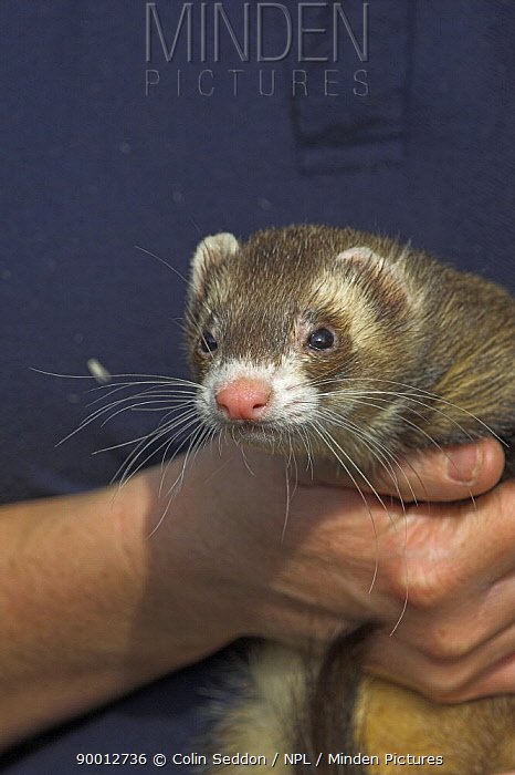 Domestic Ferret (Mustela putorius furo) held in hands, UK  -  Colin Seddon/ npl