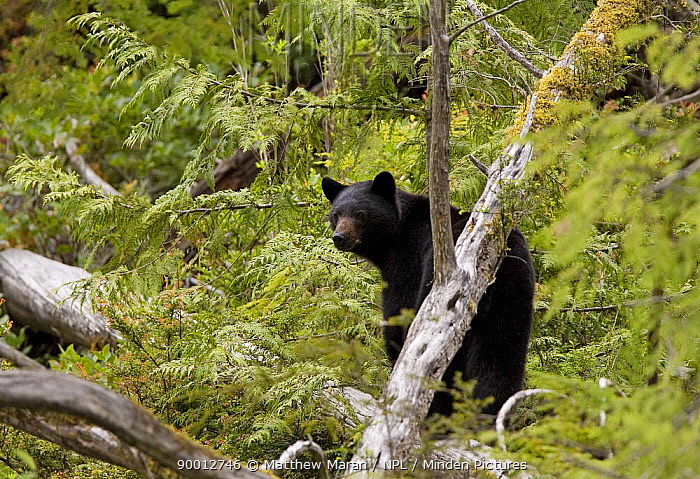 Black Bear (Ursus americanus) in woodland Clayoquot Sound, Vancouver Island, Canada  -  Matthew Maran/ npl