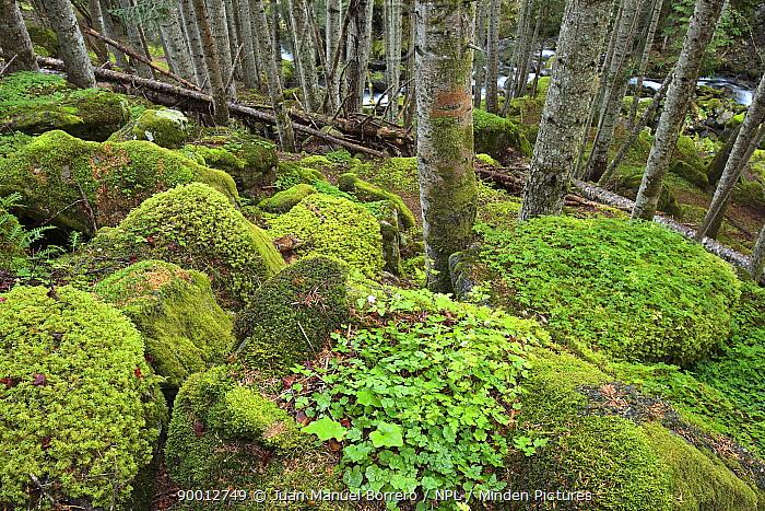 Mossy tussocks in a fir wood in Aig?estortes National Park, L?rida, Spain  -  Juan Manuel Borrero/ npl