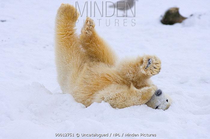 Polar Bear (Ursus maritimus) cub rolling around on the pack ice Arctic National Wildlife Refuge, Alaska  -  Steven Kazlowski/ npl