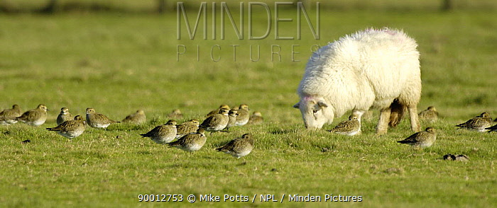 Golden Plover (Pluvialis apricaria) feed and roost on sheep pasture, Dinas Dinlle, Gwynedd, North Wales, United Kingdom  -  Mike Potts/ npl