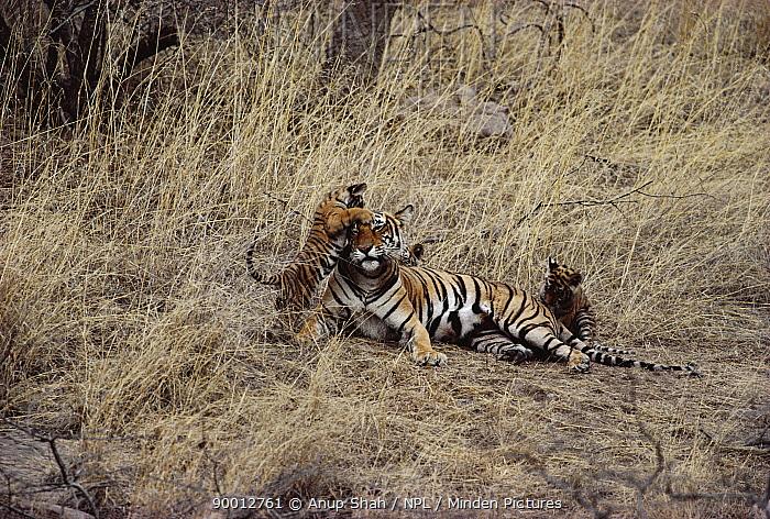 Bengal Tiger (Panthera tigris tigris) female with cubs playing, Ranthambore National Park, Rajasthan, India  -  Anup Shah/ npl