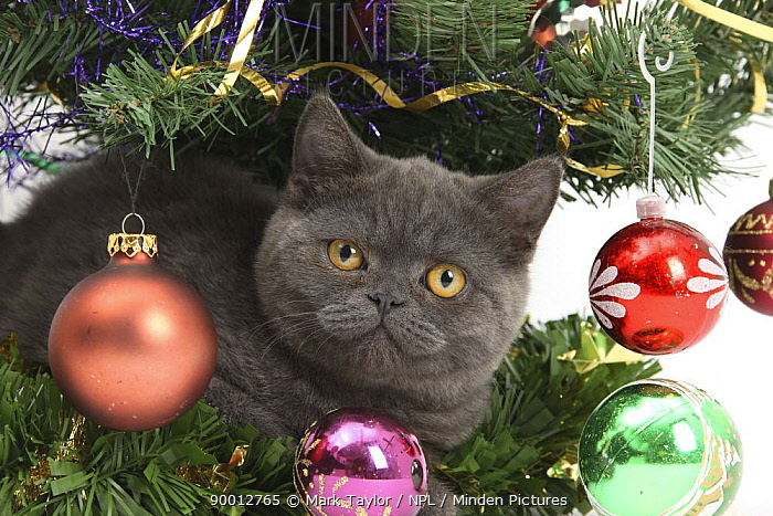 Domestic Cat (Felis catus)Grey kitten with christmas decorations under a Christmas tree  -  Mark Taylor/ npl