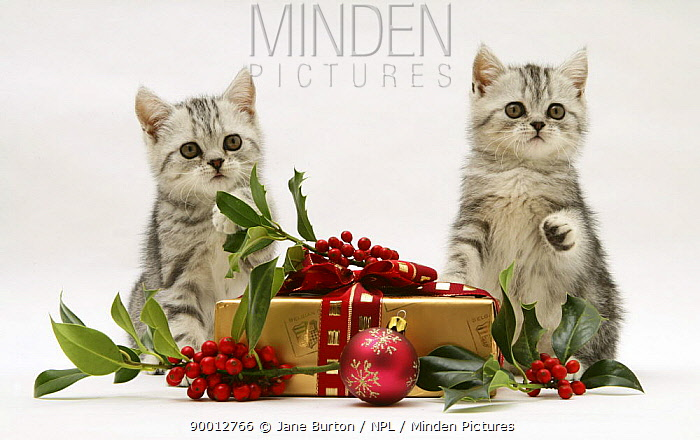 Domestic Cat (Felis catus) two Silver tabby kittens with holly berries and Christmas parcel  -  Jane Burton/ npl