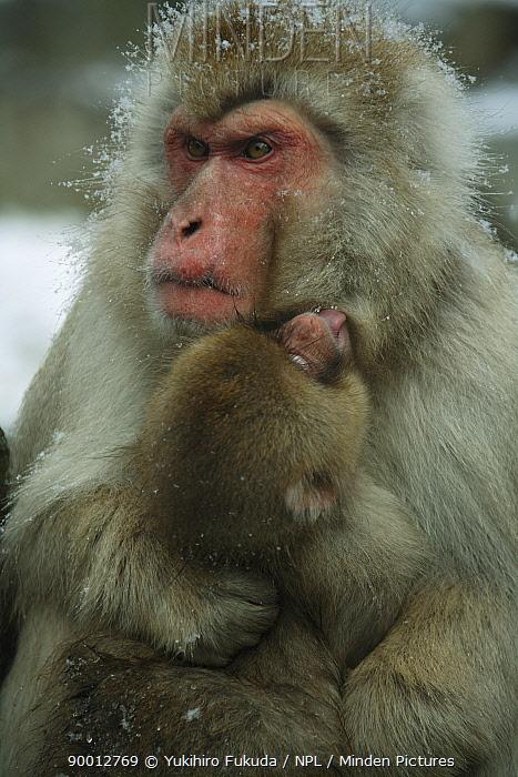 Japanese Macaque (Macaca fuscata) male caring for 8-month-old young, Jigokudani, Nagano, Japan  -  Yukihiro Fukuda/ npl