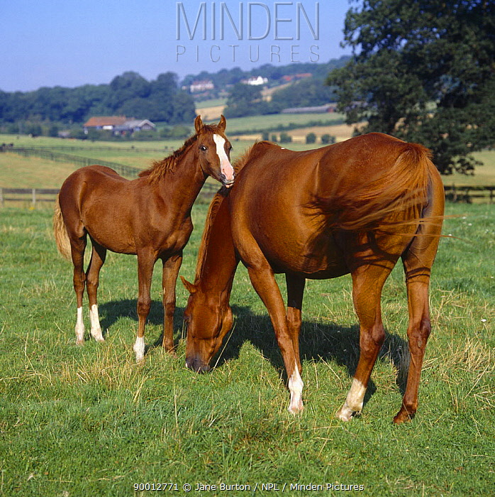 Domestic horse, chestnut mare and foal, 21-weeks, grazing in field, UK  -  Jane Burton/ npl