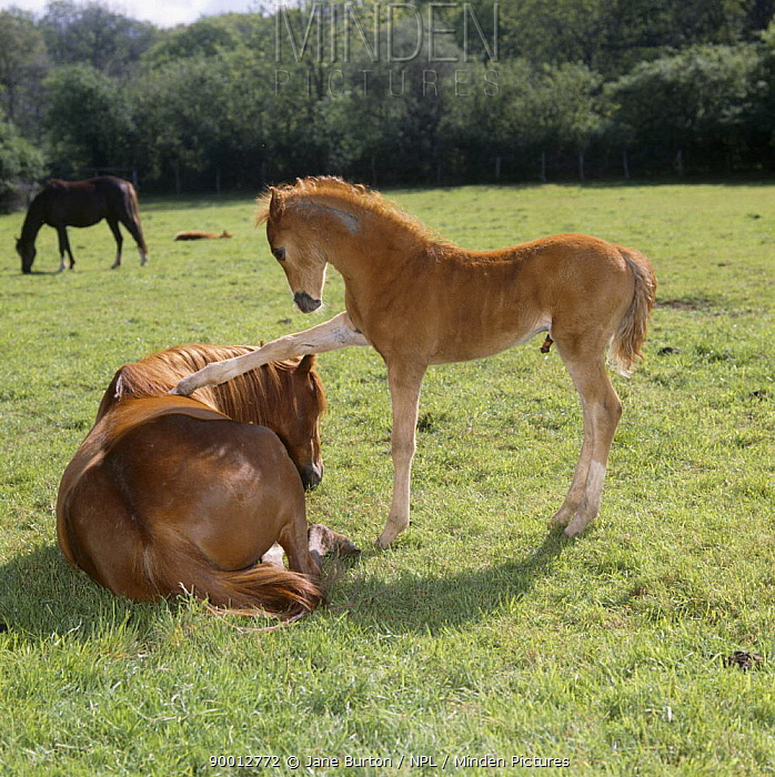 British show pony chestnut mare and colt foal (45-days) in field, foal pawing his mother's back while she tries to rest, UK  -  Jane Burton/ npl