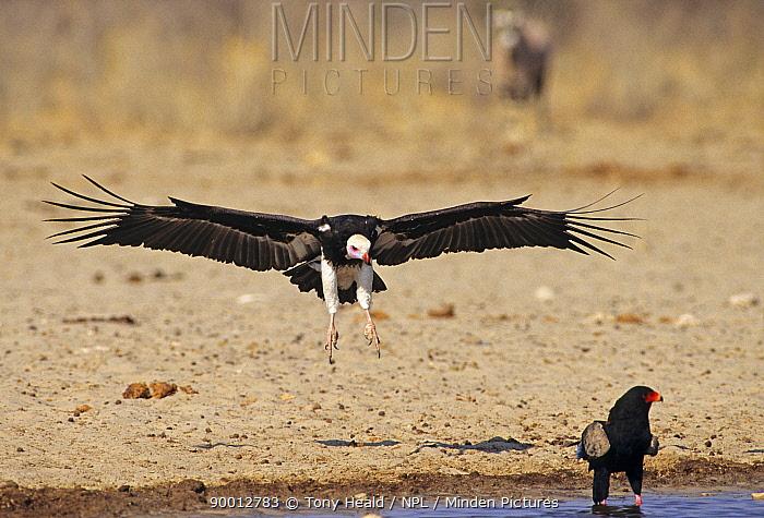 White-headed Vulture (Trigonoceps occipitalis) landing at waterhole, Namibia  -  Tony Heald/ npl