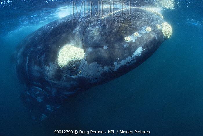 Southern right whale (Balaena glacialis australis) South Atlantic  -  Doug Perrine/ npl