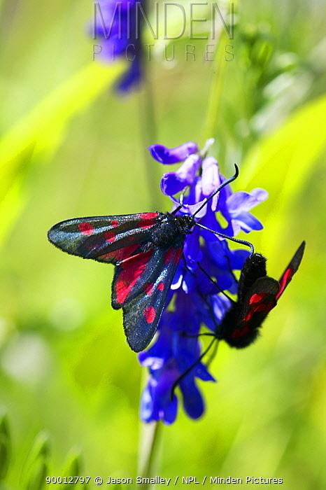 Newly hatched Five spot burnet moth (Zygaena trifolii) resting on lavender, Lancashire, UK  -  Jason Smalley/ npl