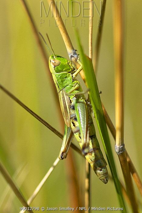 Meadow Grasshopper (Chorthippus parallelus) newly emerged female resting on grass, United Kingdom  -  Jason Smalley/ npl