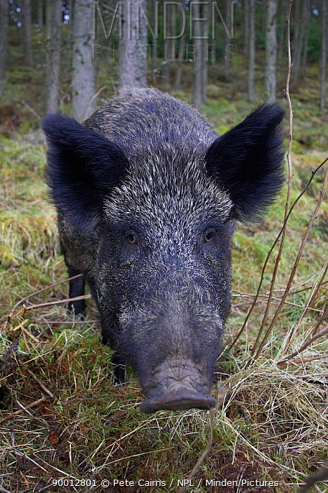 Wild Boar (Sus scrofa) in forest, Perthshire, Scotland, as part of forest regeneration project  -  Pete Cairns/ npl
