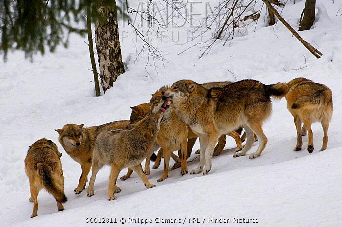 Pack of wolves (Canis lupus) greeting in the snow, captive, Bavarian Forest, Germany  -  Philippe Clement/ npl