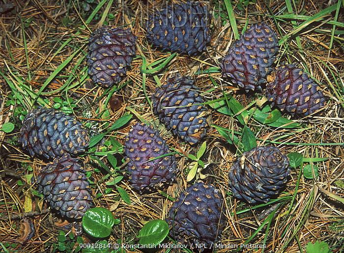 Ripe fir cones of Siberian Pine (Pinus sibiricus) Altai mountains, SE Siberia, Russia  -  Konstantin Mikhailov/ npl