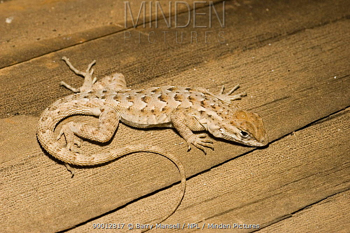 Plateau Lizard (Sceloparus tristichus) Arizona, USA  -  Barry Mansell/ npl