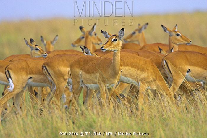 Impala (Aepyceros melampus) female harem, Masai Mara Reserve, Kenya  -  T.J. Rich/ npl