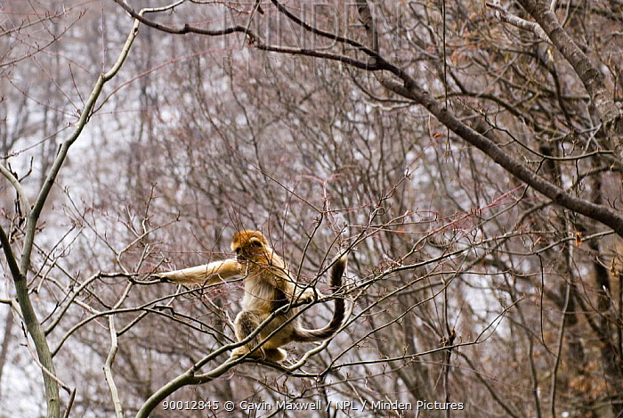 Golden Snub-nosed Monkey (Rhinopithecus roxellana) jumping between branches, sequence 3, 3, Zhouzhe reserve, Qinling mountains, China, 06, 'Wild China' series  -  Gavin Maxwell/ npl