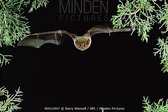 Southern Long-nosed Bat (Leptonycteris curasoae) flying at night, Arizona  -  Barry Mansell/ npl