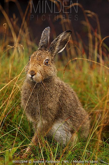 Mountain Hare (Lepus timidus) sub-adult leveret after rain, Summer coat Peak District National Park, Derbyshire, United Kingdom  -  Andrew Parkinson/ npl
