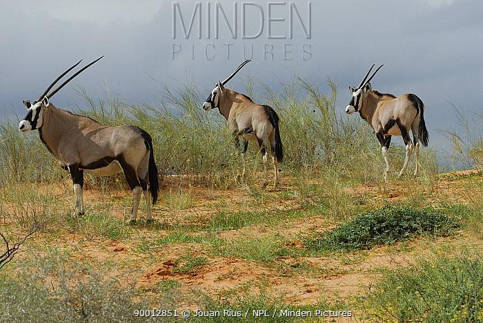 Oryx (Oryx gazella) in the dunes, Kgalagadi Transfrontier Park, Kalahari desert, South Africa  -  Jouan & Rius/ npl