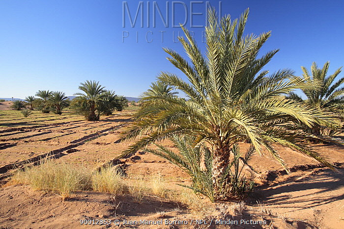 Palms and agricultural fields in the Dr?a Valley, Morocco December 2007  -  Juan Manuel Borrero/ npl