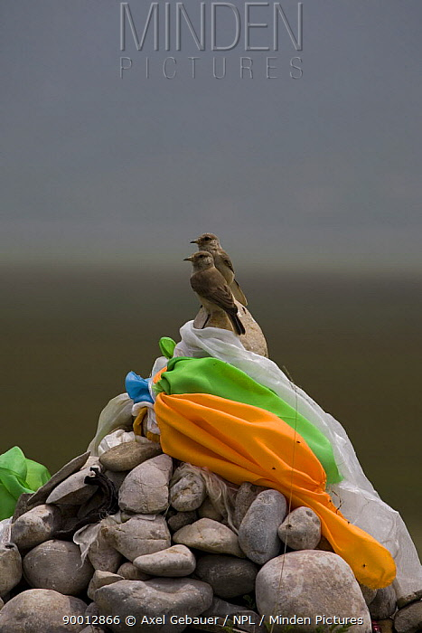 Two Hume's, Tibetan Ground Jay (Pseudopodoces humilis) juveniles on rocks with prayer flags, Tibet, China  -  Dr. Axel Gebauer/ npl