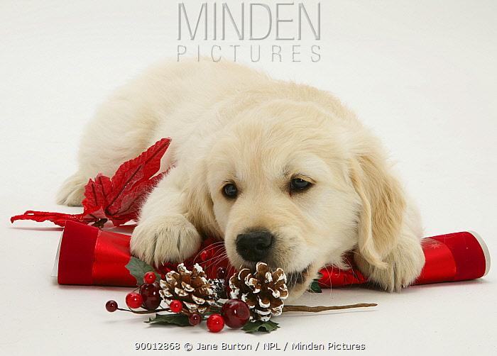 Golden Retriever puppy with Christmas cracker  -  Jane Burton/ npl