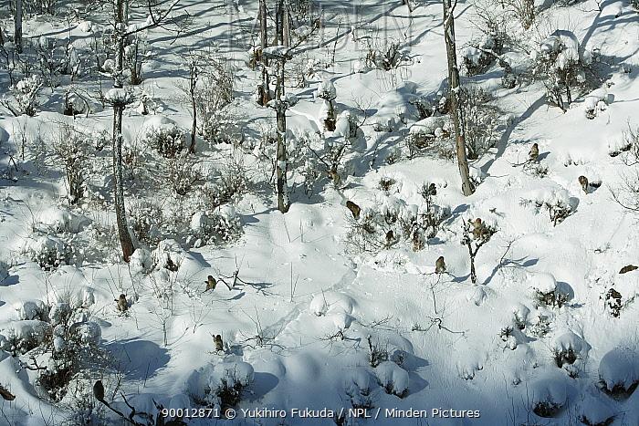 Japanese Macaque (Macaca fuscata) group of monkeys basking on the snow in the winter sunshine, Jigokudani, Nagano, Japan  -  Yukihiro Fukuda/ npl