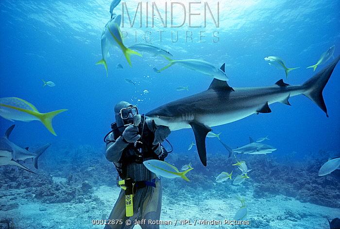 Shark handler feeds Caribbean Reef Shark (Carcharhinus perezi) Bahamas, Caribbean Sea  -  Jeff Rotman/ npl