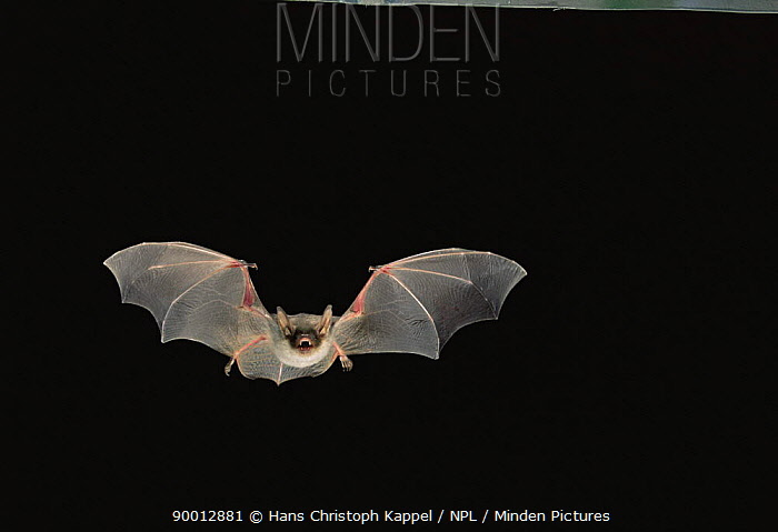 Greater Mouse-eared Bat (Myotis myotis) in flight at night  -  Hans Christoph Kappel/ npl