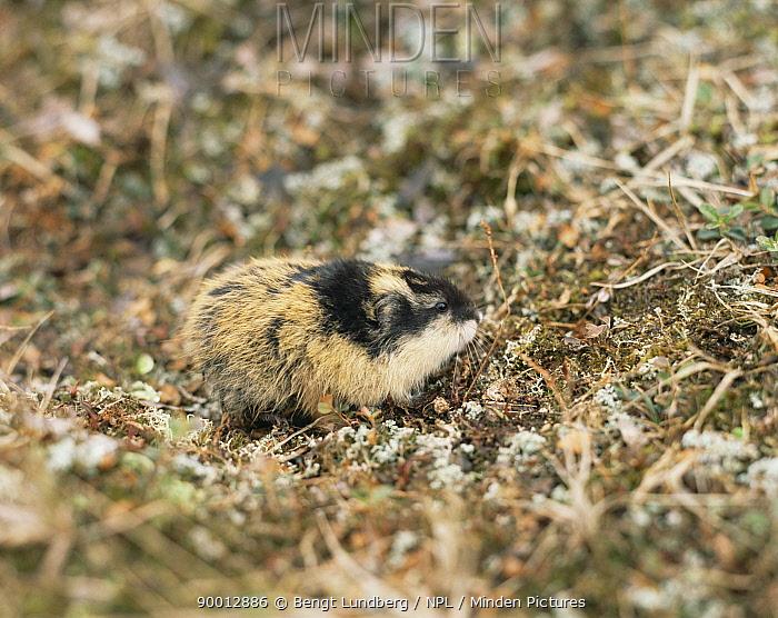 Norway Lemming (Lemmus lemmus) Sweden  -  Bengt Lundberg/ npl