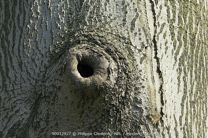 European Beech (Fagus sylvatica) tree, natural hole in trunk Belgium  -  Philippe Clement/ npl