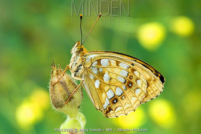 High Brown Fritillary (Argynnis adippe) at rest on Red Campion seedhead United Kingdom  -  Andy Sands/ npl