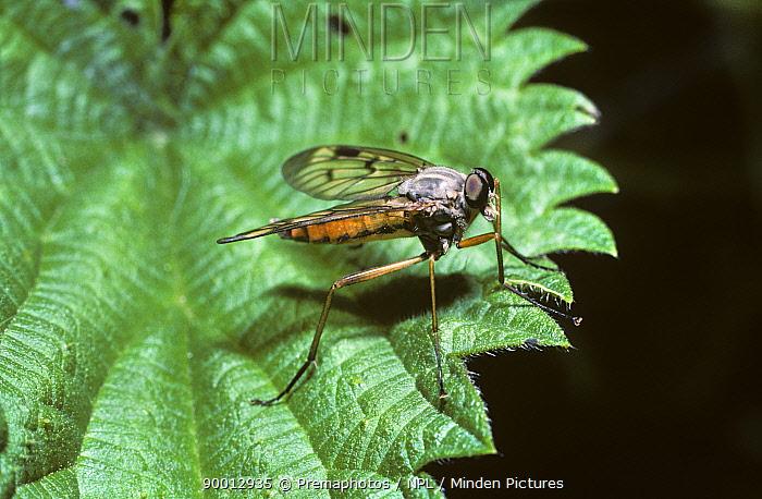 Mottle-winged snipe fly, downlooker fly (Rhagio scolopacea) on a nettle leaf, UK  -  Premaphotos/ npl