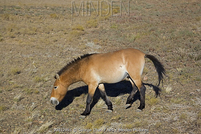 Przewalski's Horse (Equus ferus przewalski) in Kalamaili National park, Xinjiang Province, North-west China, September 2006 The horses have been re-released after a captive breeding programme  -  George Chan/ npl