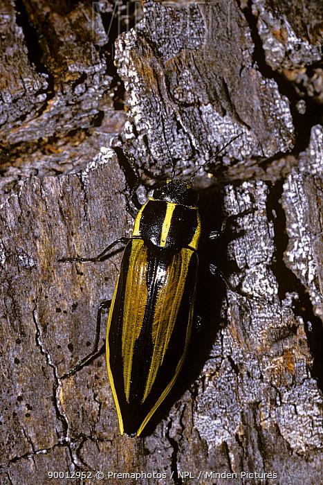 Jewel beetle (Epistomentis vittata) on the trunk of a Southern beech tree, Chile  -  Premaphotos/ npl