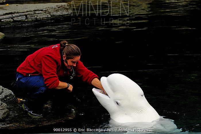 Beluga (Delphinapterus leucas) with trainer, Captive, Vancouver Aquarium, Vancouver, Canada  -  Eric Baccega/ npl