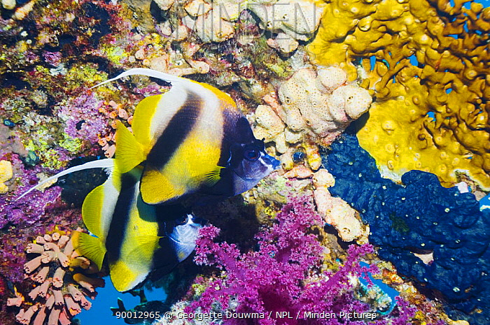 Red Sea Bannerfish (Heniochus intermedius), pair at rest on reef with firecoral and soft corals Red Sea, Egypt  -  Georgette Douwma/ npl