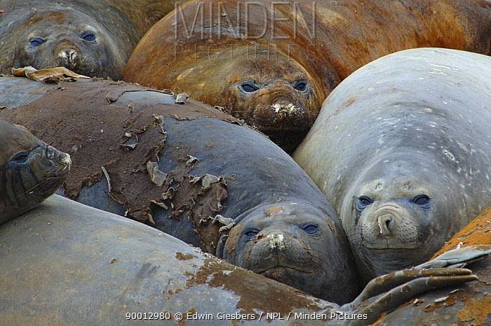 Southern Elephant Seal (Mirounga leonina) moulting, Antarctica  -  Edwin Giesbers/ npl