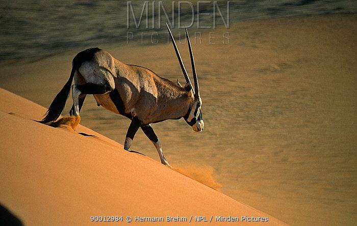 Oryx (Oryx gazella) walking down sand dune, Namib Desert, Namibia  -  Hermann Brehm/ npl