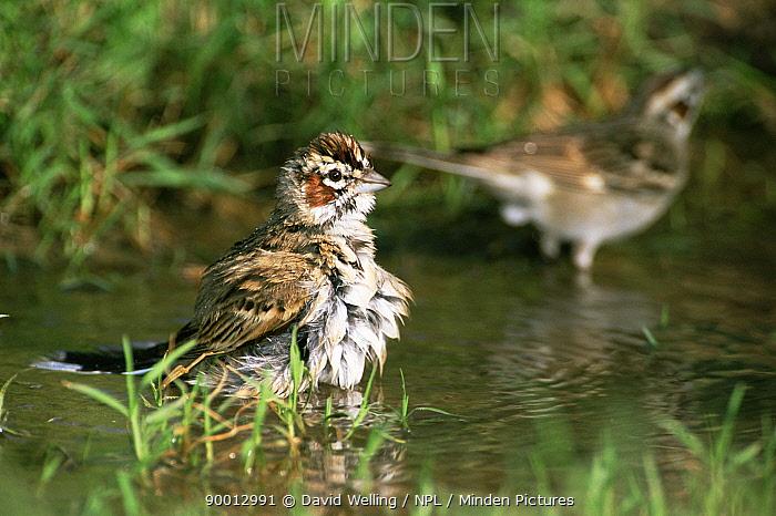 Lark Sparrow (Chondestes grammacus) bathing in pool, Texas  -  David Welling/ npl